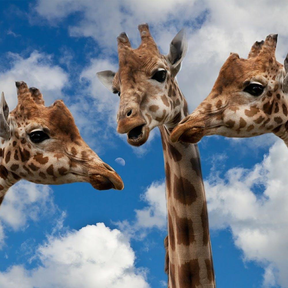 1079 %e7%b5%90%e8%ab%96%e3%83%95%e3%82%a1%e3%83%bc%e3%82%b9%e3%83%88 %e4%b8%8b%e5%8e%9f %e4%b8%ad%e5%b1%b1 giraffes 627031 1280 1000x1000.jpg?ixlib=rails 3.0