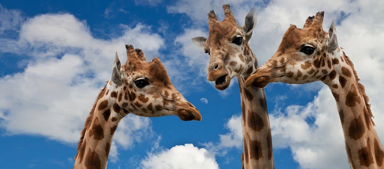 1079 %e7%b5%90%e8%ab%96%e3%83%95%e3%82%a1%e3%83%bc%e3%82%b9%e3%83%88 %e4%b8%8b%e5%8e%9f %e4%b8%ad%e5%b1%b1 giraffes 627031 1280 680x300 2x.jpg?ixlib=rails 3.0
